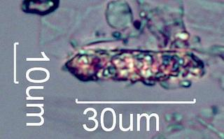 Calcium Oxalate Phytoliths from a Fire