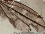 Fragment of Fly Wing