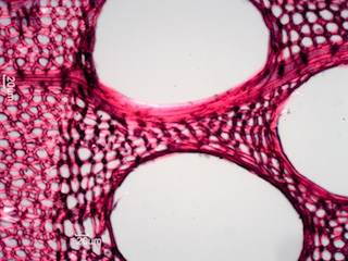 Fraxinus nigra, Cross-Section