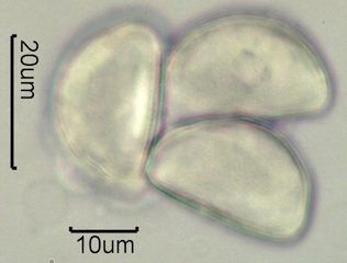 Geyer's Onion Pollen
