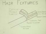 Hair Features diagram drawing
