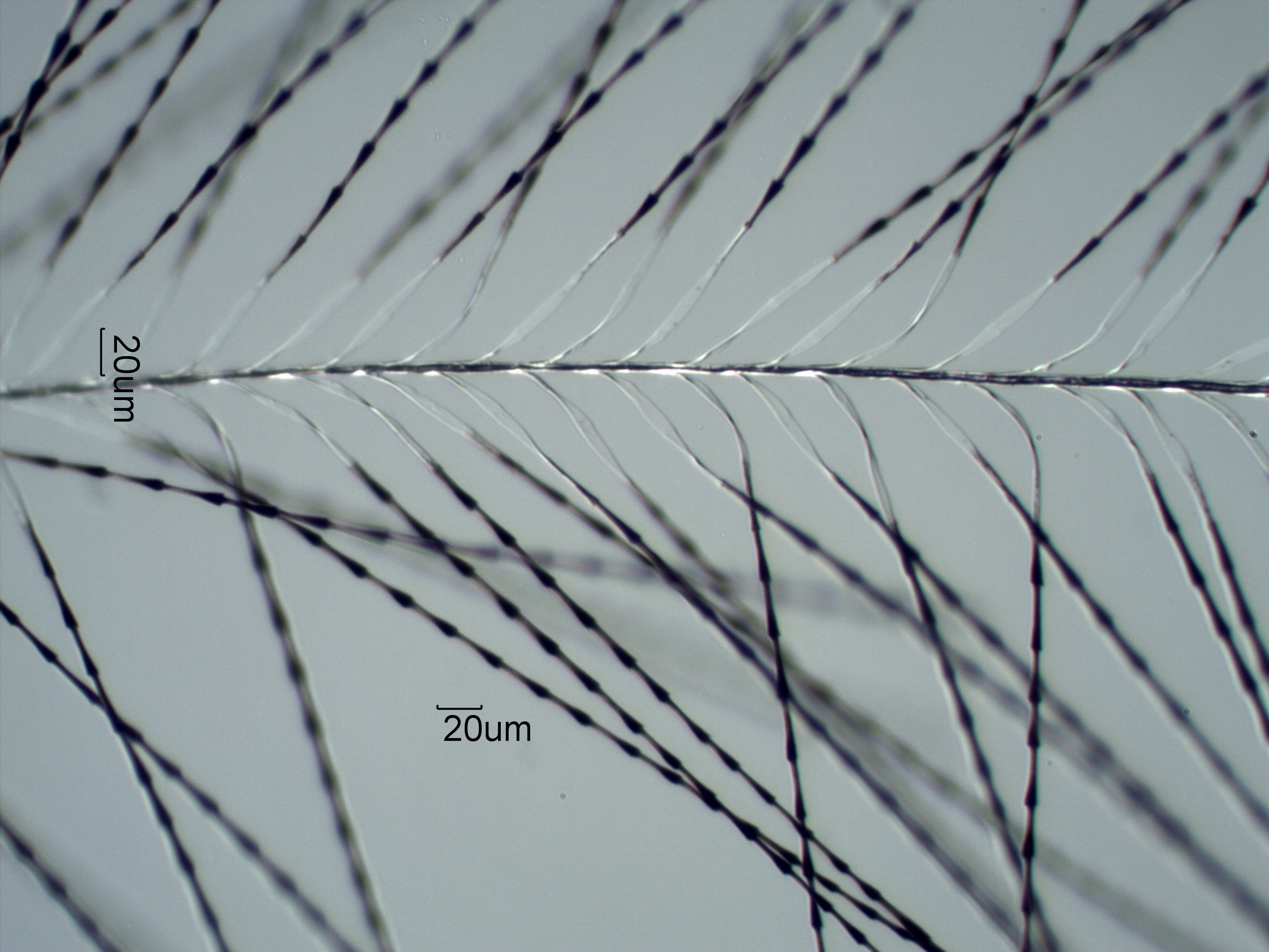 Hummingbird Down 1 feather barbules under the microscope