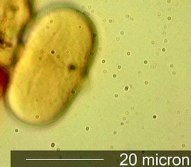 Sweet Yellow Clover (Melilotus officinalis) Pollen