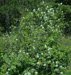 Serviceberry (Amelanchier spp.)
