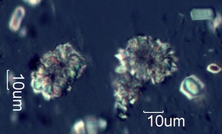 Calcium Oxalate from Snowberry (Symphoricarpus albus) Leaves
