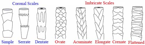 Cuticle Scale Patterns